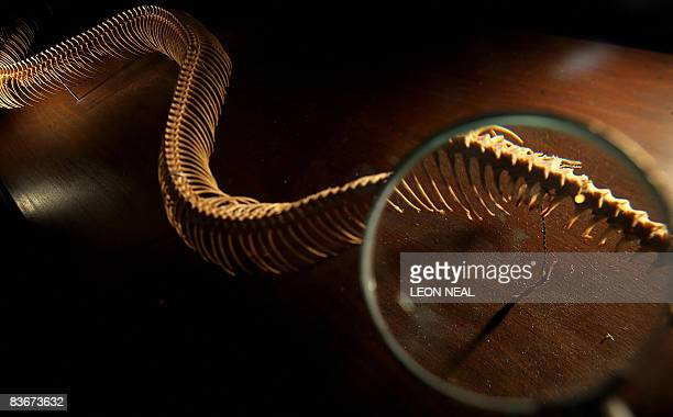 The vestigial legs on the skeleton of a reticulated python are shown through a magnifying glass at the Darwin exhbition at the Natural History Museum...