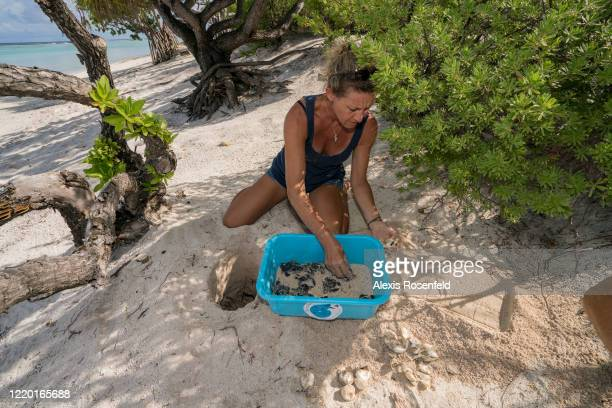 The veterinarian and president of Te Mana O Te Moana association Cécile Gaspar collects the weakest hatchling sea turtles on February 28 French...