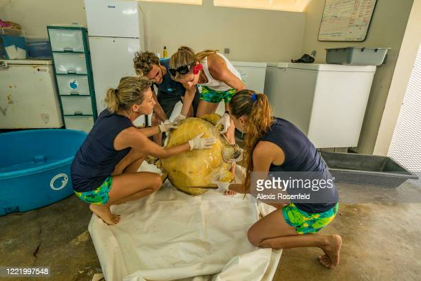 The veterinarian Cécile Gaspar and her assistants take care of a green sea turtle on March 02 Moorea French Polynesia Pacific Ocean The care center...