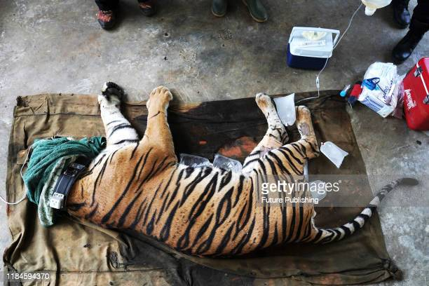 The veterinarians examine the condition of a male Sumatran Tiger named Atan Bintang before releasing it to its original habitat at Sumatran Tiger...