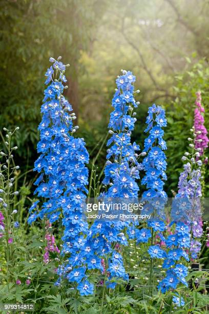the vibrant blue colour of the summer flowering delphinium 'loch nevis' in the hazy sunshine - delphinium stock pictures, royalty-free photos & images