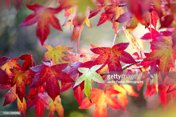 the vibrant red autumn leaves of the american sweetgum (liquidambar styraciflua), also known as american storax, hazel pine - autumn leaf color stock pictures, royalty-free photos & images