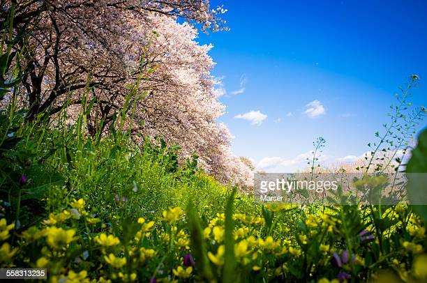 The view of cherry trees from down low