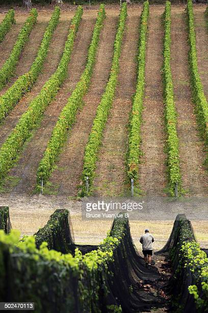 The view of vineyard and a worker