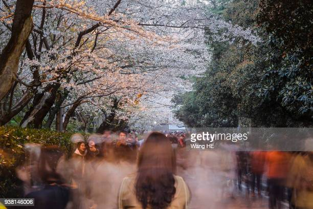 The views cherry blossom on campus of Wuhan University on March 22 2018 in Wuhan of Hubei Province China Tourists come to view cherry blossoms at the...