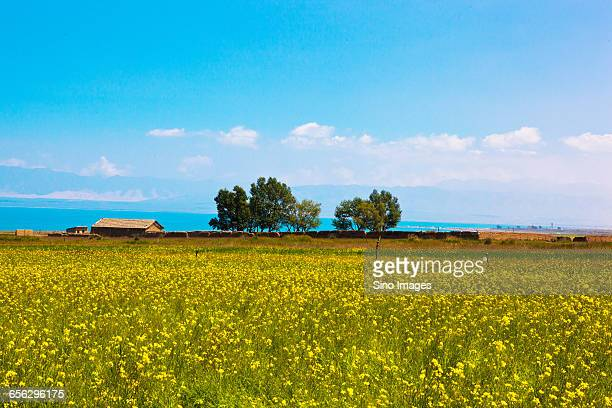 the village near qinghai lake - qinghai province stock photos and pictures