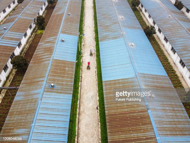 The villagers are transferring pig manure from the pig farm. Nayong County, Guizhou Province, China, April 2, 2020.- PHOTOGRAPH BY Costfoto /...