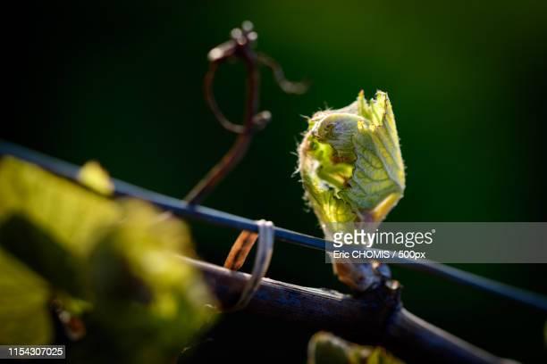 the vine in the spring - knop plant stage stockfoto's en -beelden