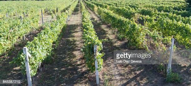 the vineyard and the granite post - wineyard stock photos and pictures