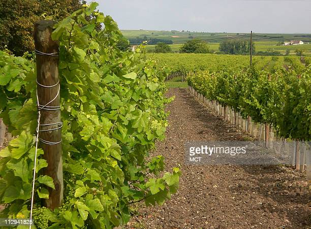 The vineyards of Cognac total more than 200000 acres and comprise six separate appellations including Grande Champagne Petite Champagen Borderies...