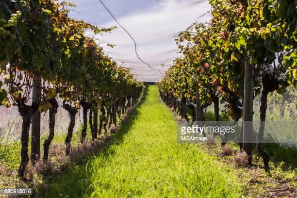 the vineyard,Waiheke Island