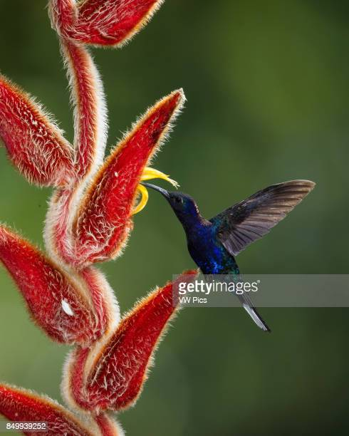 The Violet Sabrewing Hummingbird Campylopterus hemileucurus is a very large hummingbird native to southern Mexico and Central America as far south as...