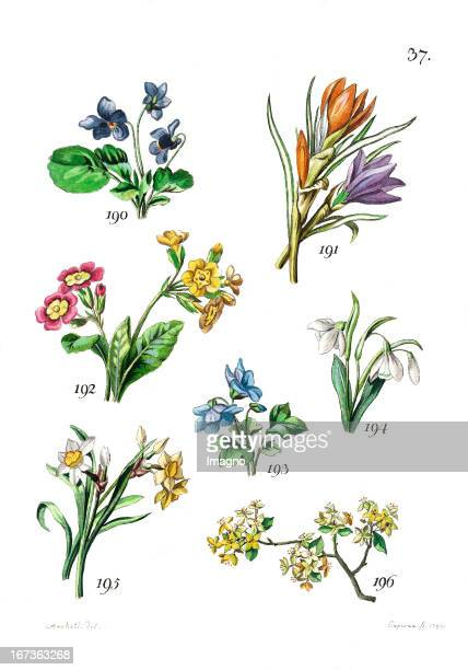The Violet the Saffron Crocus the primrose the European Wild Ginger and the Snowdrop the Narcissus and the Cornelian Cherry Blossom Lithography From...