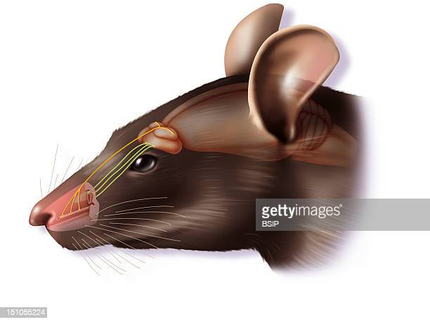 The Vomeronasal Organ Representation Of The Main Olfactory System And The Vomeronasal Organ In The Rat As Well As Their Connections With The Brain...