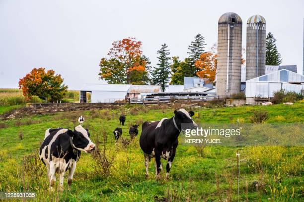 The Von Ruden's Organic Dairy Farm cows are seen grazing in Westby, Wisconsin, on October 3, 2020. - In western Wisconsin, where family-run dairy...