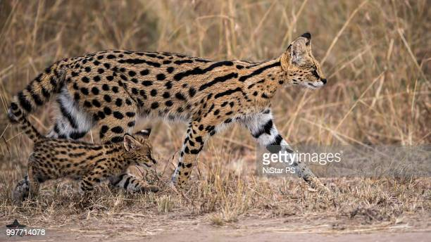 The walk! Serval and Kitten..