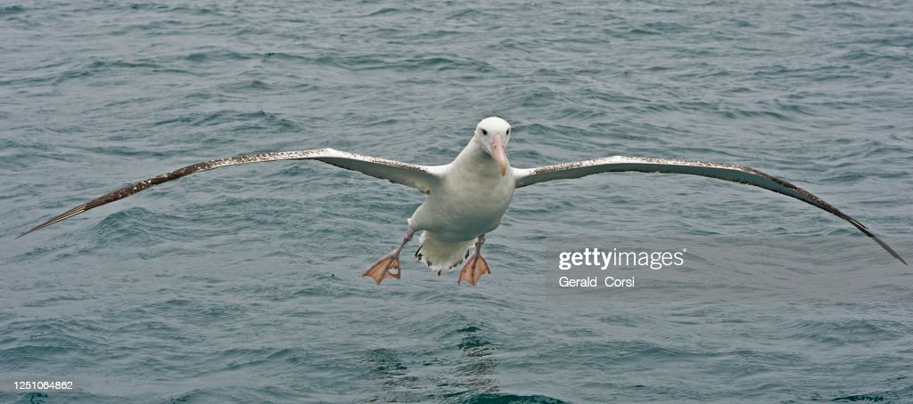 The Wandering Albatross, Snowy Albatross or White-winged Albatross, Diomedea exulans, is a large seabird from the family Diomedeidae, which has a circumpolar range in the Southern Ocean. The Wandering Albatross is the largest member of the genus Diomedea : Stock Photo