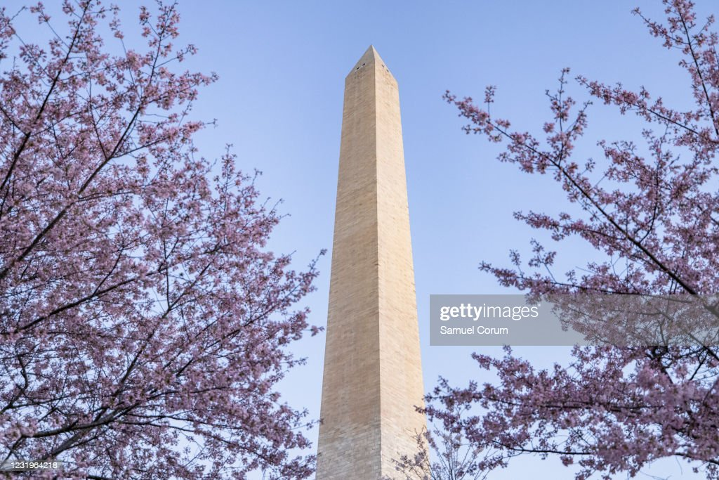 Washington D.C.'s Famed Cherry Blossoms Begin Blooming And Attracting Crowds : News Photo