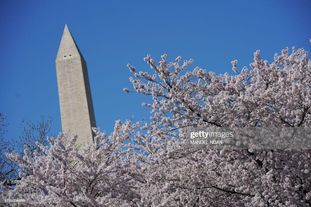 US-FESTIVAL-CHERRY-BLOSSOMS-nature : News Photo