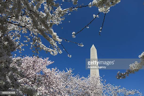 The Washington Monument is surrounded by Cherry Blossom trees in full bloom during the National Cherry Blossom Festival and Parade in Washington USA...
