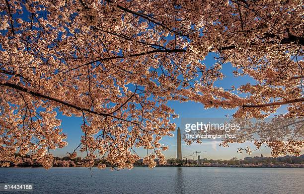 The Washington Monument is visible through cherry blossoms at peak bloom around the Tidal Basin on April 2014 in Washington DC