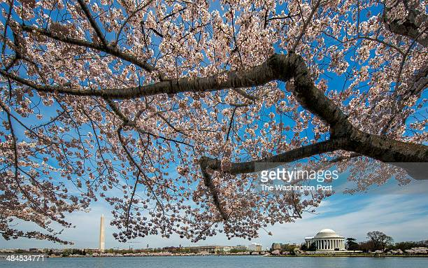 The Washington Monument left and Jefferson Memorial right shimmer in the spring sunshine as cherry blossoms peak bloom around the Tidal Basin on...