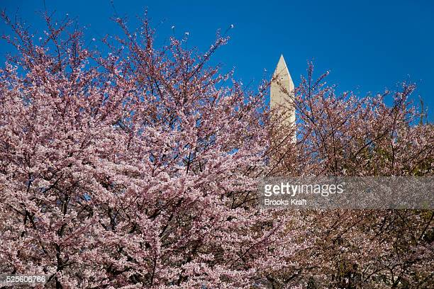 The Washington Monument peeks through the annual cherry blossoms in bloom along the tidal basin near the Washington Monument in Washington DC The...