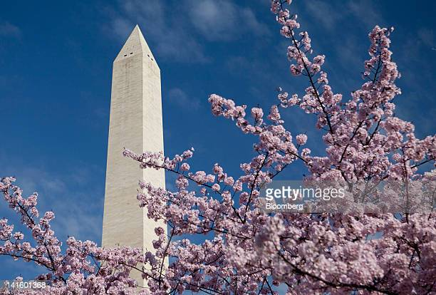 The Washington Monument stands behind cherry trees blossoming in Washington DC US on Monday March 19 2012 2012 marks the hundredth year since...