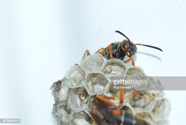 the wasp sentry - paper wasp stock pictures, royalty-free photos & images
