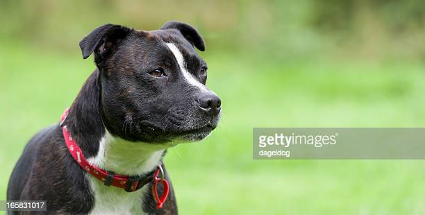 the watchful staffy - staffordshire bull terrier stock pictures, royalty-free photos & images