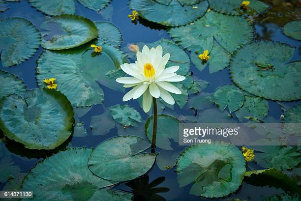 The water lily on a lake