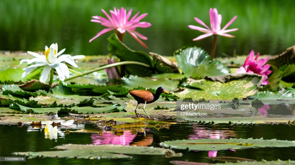 The wattled jacana is a bird that lives with water lilies, embellishing parks and gardens around the world. : Stock Photo