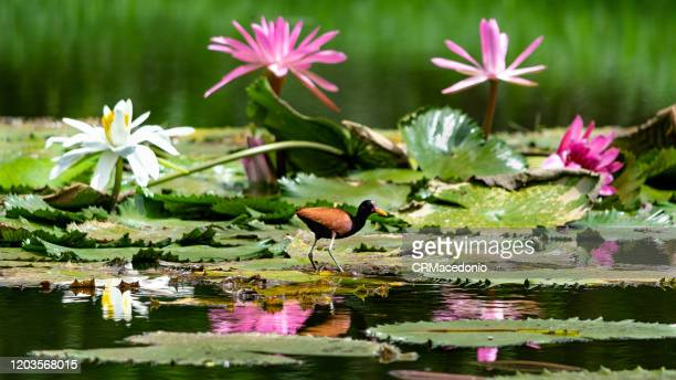 the wattled jacana is a bird that lives with water lilies, embellishing parks and gardens around the world. - crmacedonio fotografías e imágenes de stock