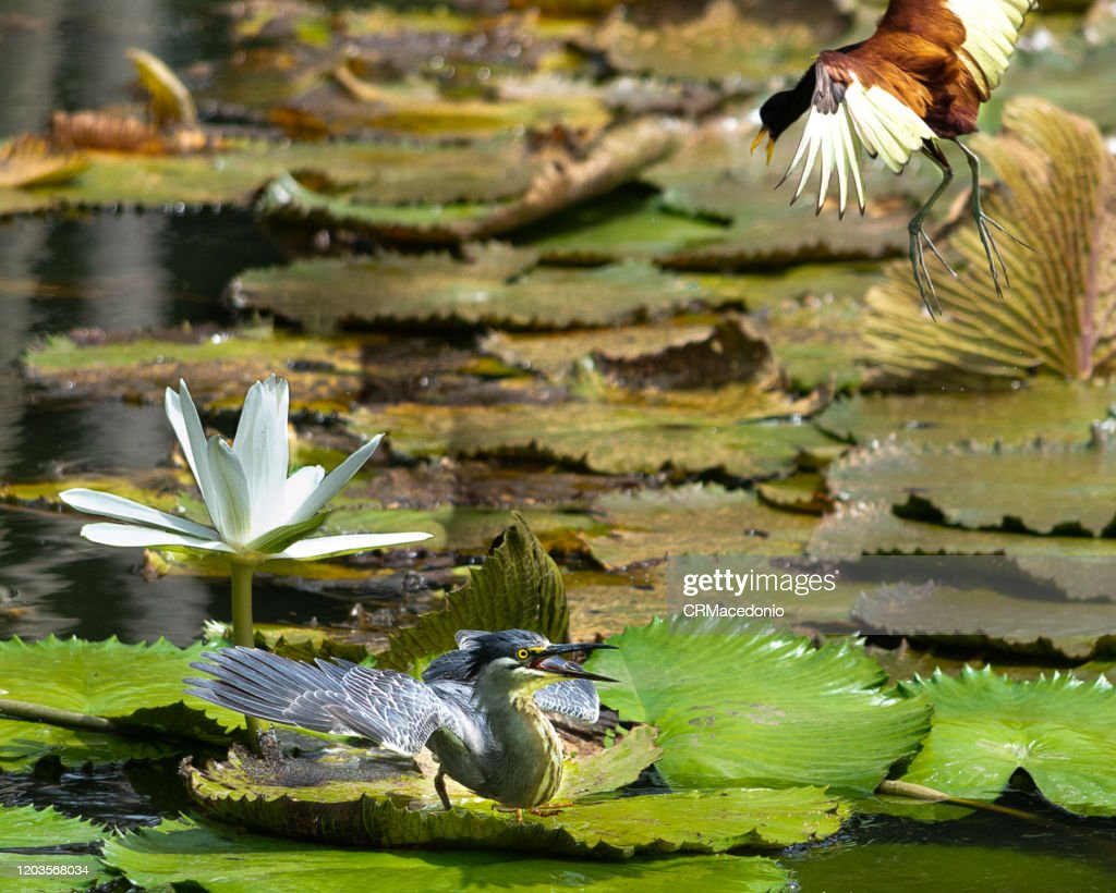 The wattled jacana is fierce to attack a striated heron and defend its territory. : Stock Photo