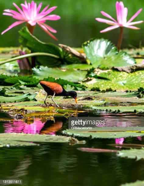 the wattled jacana. - crmacedonio fotografías e imágenes de stock