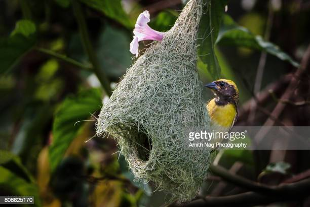 the weaver's home decor - birds nest stock photos and pictures