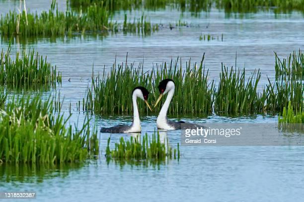 de westelijke futbe (aechmophorus occidentalis) is een soort uit de familie van de watervogels .[1) malheur national wildlife reserve, oregon. podicipedidae. verkeringsvertoning. - nature reserve stockfoto's en -beelden