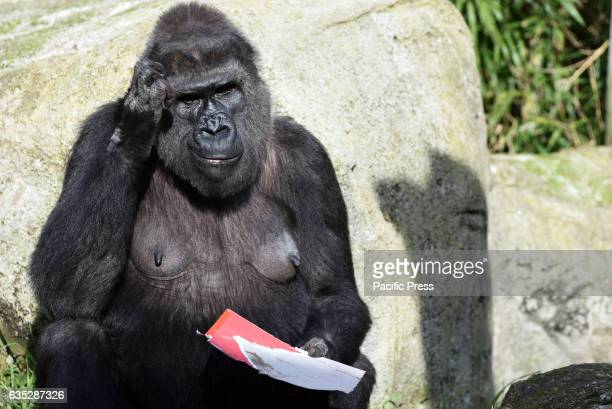 The Western lowland gorilla 'Coco' pictured at Madrid zoo