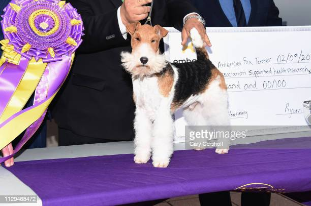The Westminster Kennel Club's Best in Show winner King the Wire Fox Terrier poses at Top of the Rock Observation Deck at Rockefeller Center on...