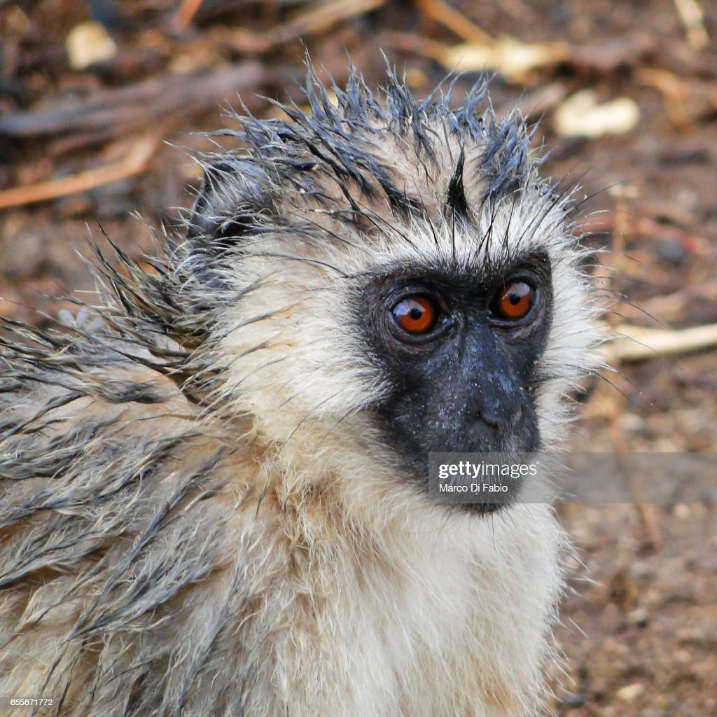 The Wet Vervet Monkey : Stock-Foto