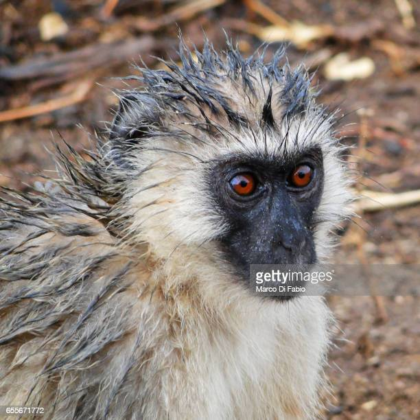 the wet vervet monkey - bagnato stock pictures, royalty-free photos & images