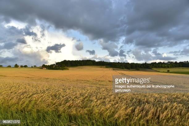The wheat field under evening light after thunderstorm