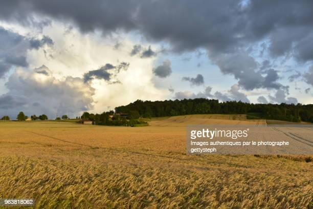 The wheat field under sunset light colors