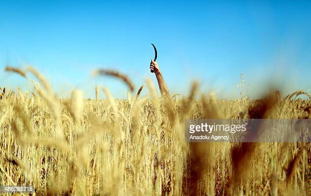The wheat harvest at the buffer zone on IsraeliGazaian border goes on under the Israeli intervention risk May 5 2104
