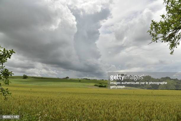 The wheat plantations under dark gray clouds
