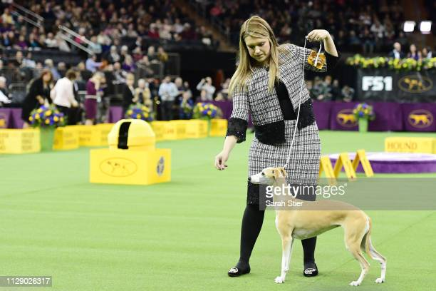 The Whippet and trainer during the Hound Group judging at the 143rd Westminster Kennel Club Dog Show at Madison Square Garden on February 11 2019 in...