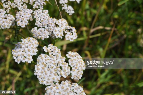 the white flower, who gets seen as 'just a weed'. - yarrow stock pictures, royalty-free photos & images