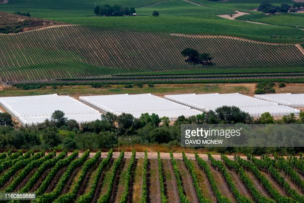 The white greenhouses of a cannabis growing operation that was constructed in March is seen between Fiddlestix and Sea Smoke vineyards in the Santa...