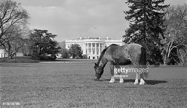The White House lawn is just a pasture for Caroline Kennedy's pony Macaroni as the animal grazed at will on the vast area south of the President's...