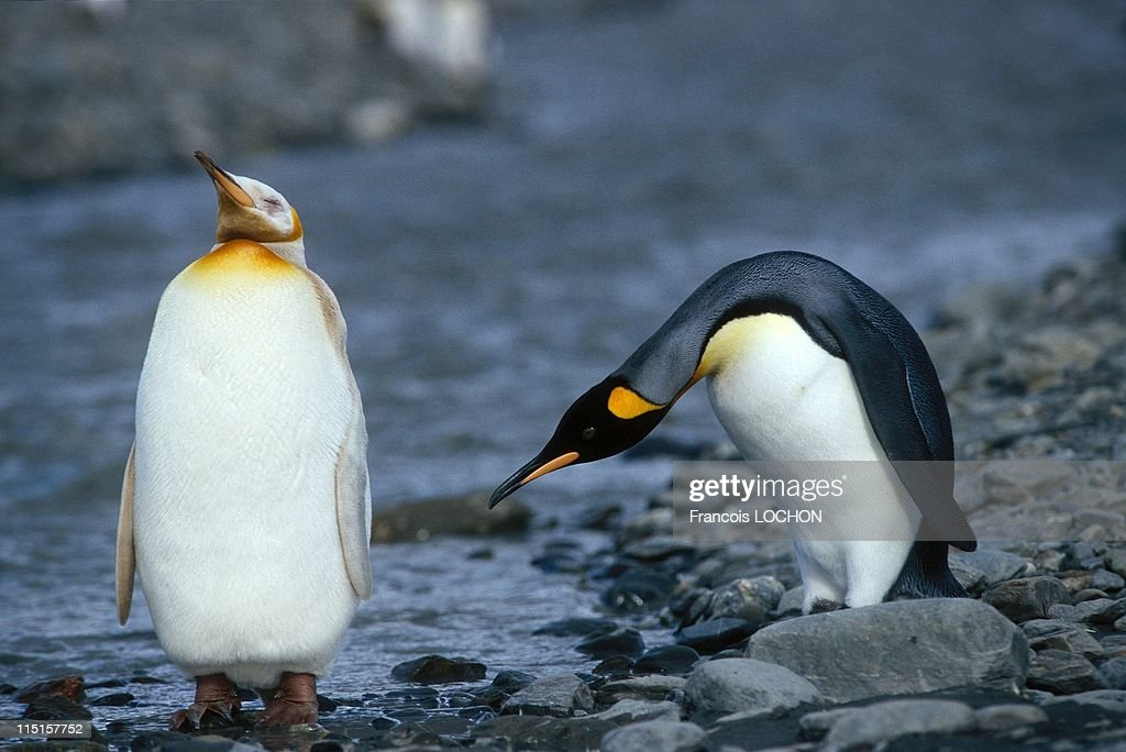 The White King Penguin In Saint Andrews Bay, United States In March, 1998. : News Photo